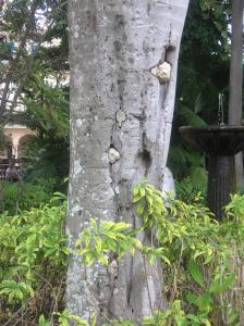 The power of Hurricane Sandy.  Big stones embedded into the tree.